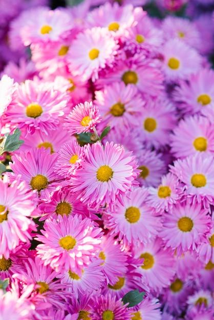 Zeer mooie roze paarse chrysanten. bloem achtergrond Premium Foto