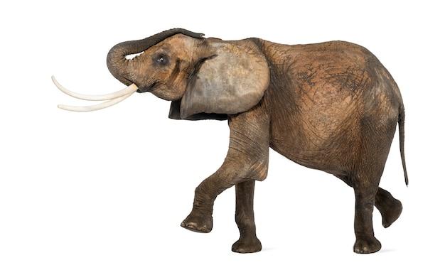 Zijaanzicht van een afrikaanse olifant presteren, geïsoleerd op wit Premium Foto