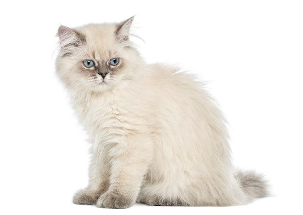 Zijaanzicht van een britse longhair-katjeszitting Premium Foto