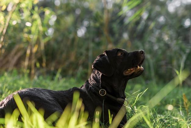 Zijaanzicht van zwart labrador in weide Gratis Foto