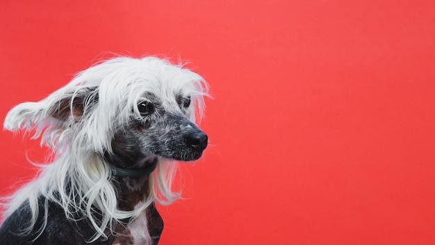 Zijdelings portret van een chinees kuifpuppy met exemplaar ruimteachtergrond Gratis Foto