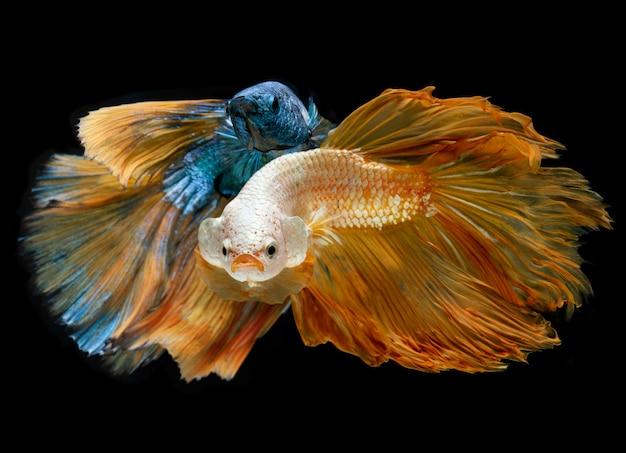 Zilver goud en blauwe lange halve maan betta vissen. Premium Foto