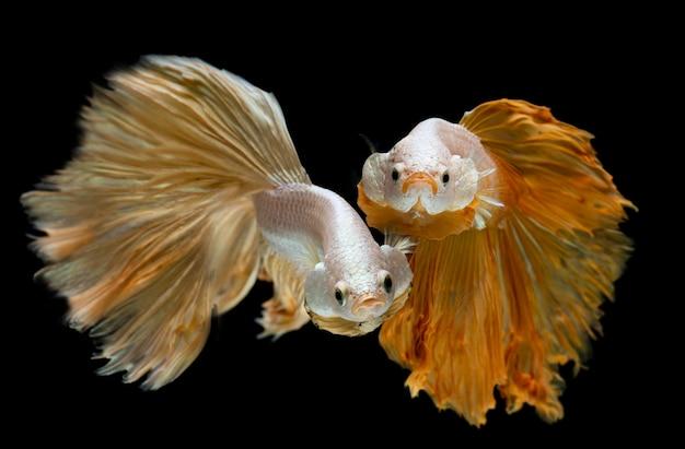 Zilver goud lange halve maan betta vis. Premium Foto