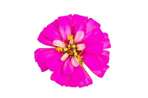 Zinnia bloem close-up geïsoleerd op een witte achtergrond Premium Foto