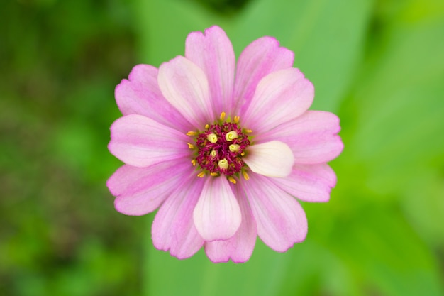 Zinnia bloem close-up Premium Foto