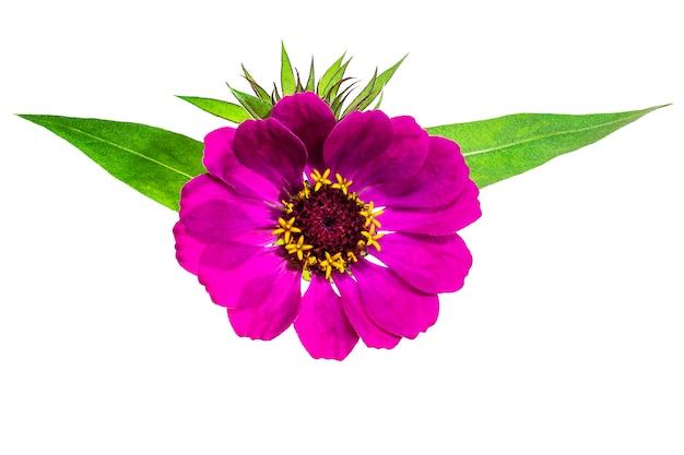 Zinnia bloem herfst bloemen geïsoleerde achtergrond close-up highresolution macrofotografie Premium Foto