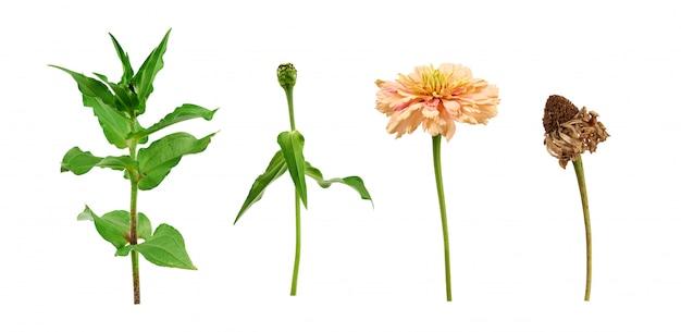 Zinnia bloemsteel met groene bladeren, bloeiende en verwelkte knop Premium Foto