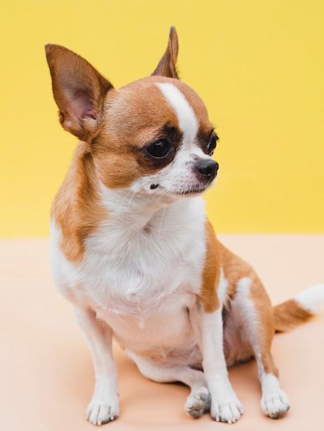 Zittend chihuahua hond en gele achtergrond Gratis Foto