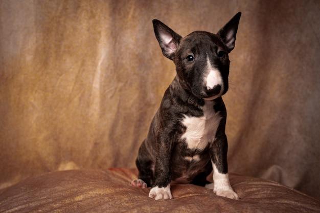 Zittende zwarte miniatuur bull terrier puppy Gratis Foto