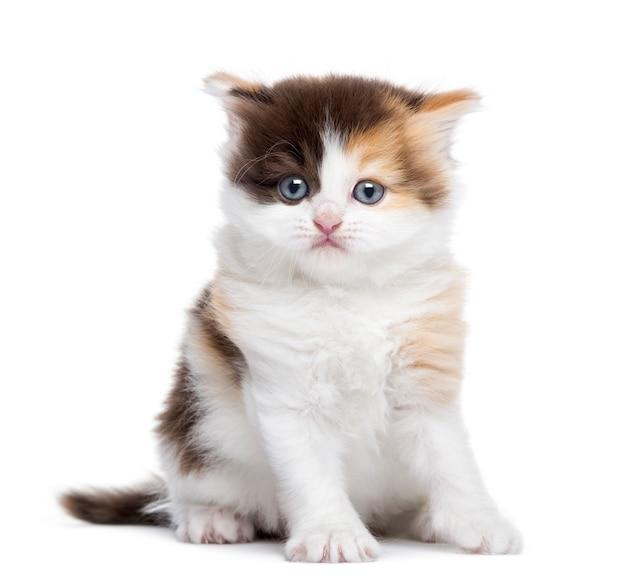 Zitting van het hoogland de rechte katje die op wit wordt geïsoleerd Premium Foto