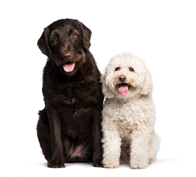 Zitting van labrador en maltees tegen witte achtergrond Premium Foto