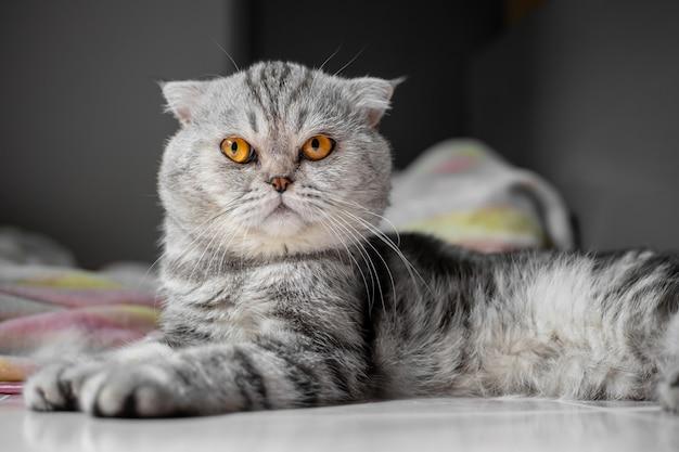 Zo schattig van schotse vouwen kat. Premium Foto