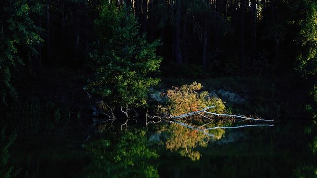 Zonlicht op gebroken berk met gele bladeren op de rivier met reflectie Premium Foto