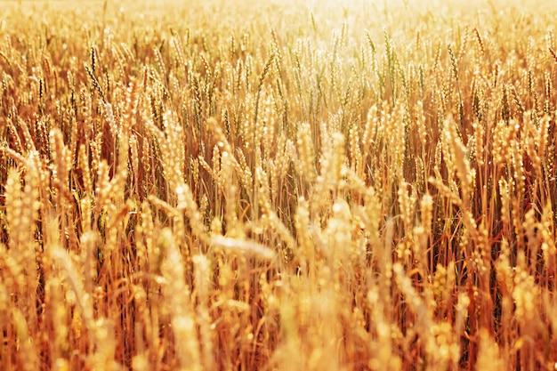 Zonlicht over gebied van rijpe gouden tarwe. herfst oogsttijd. selectieve aandacht. Premium Foto