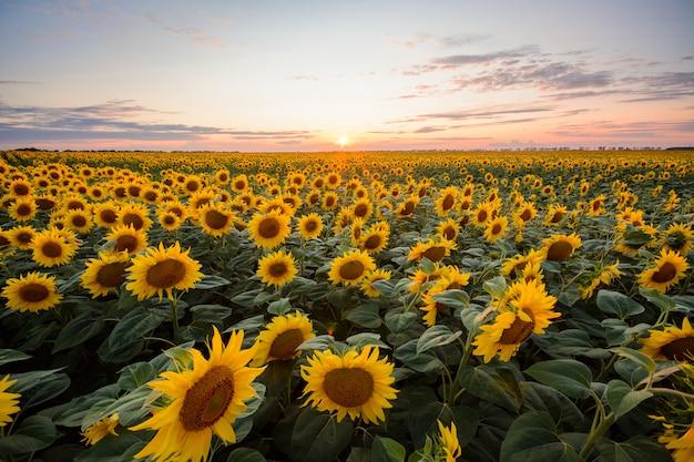 Zonnebloem achtergrond. groot gebied van bloeiende zonnebloemen tegen het plaatsen van zon Premium Foto