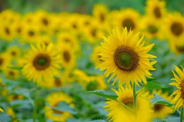 Zonnebloem in het ochtendlicht Premium Foto