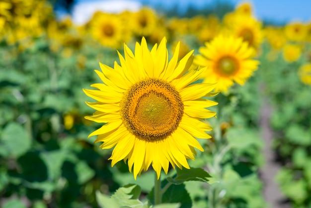 Zonnebloem in het veld Gratis Foto