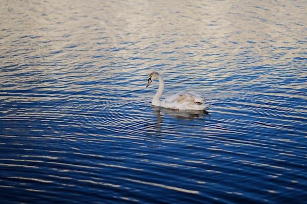 Zwaan in het blauwe water Premium Foto