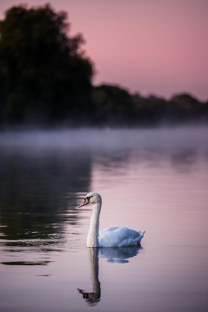 Zwaan in het water Gratis Foto