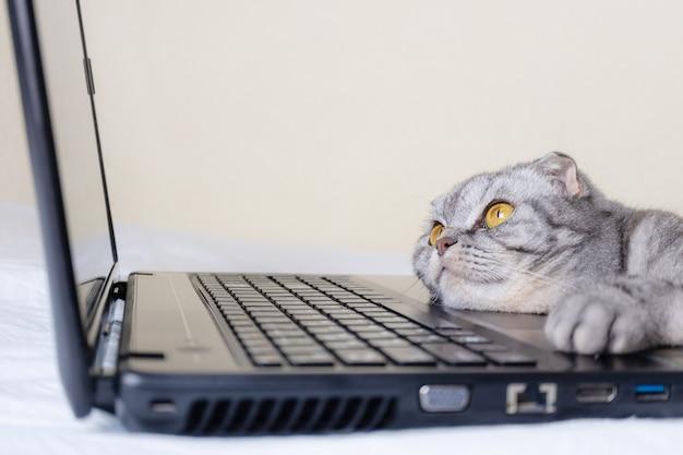 Zwart en grijs gestreepte scottish fold kat met gele ogen kijkt naar een laptop monitor liggend op een bank. Premium Foto