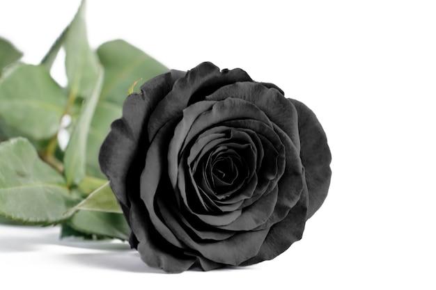 Zwart steeg dicht op een wit geïsoleerde achtergrond, zachte nadruk Premium Foto