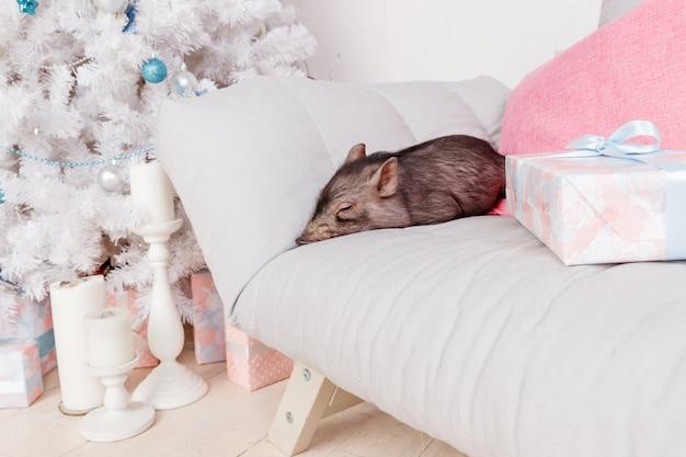 Zwart varken op de sofa. decoratiesymbool van de chinese kalender van het jaar. vakanties, winter en feest Premium Foto
