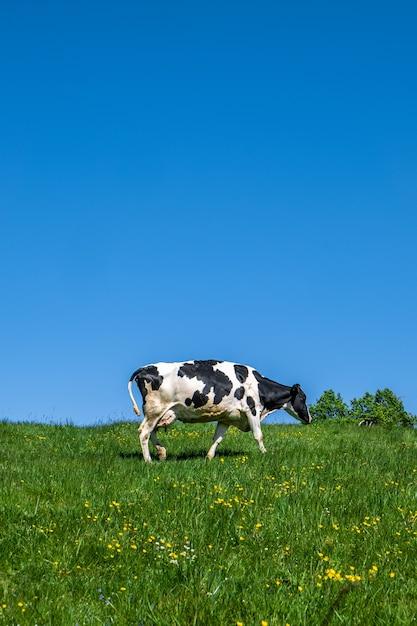 Zwart-wit koe grazen op de wei overdag Gratis Foto