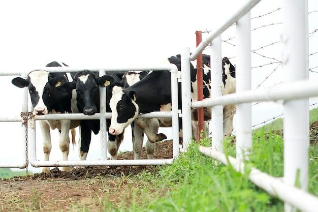 Zwart-witte holstein-melkkoeien die zich in een lijn bij omheining bevinden Premium Foto