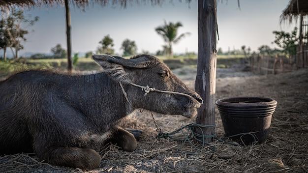 Zwarte buffels in weiland Premium Foto