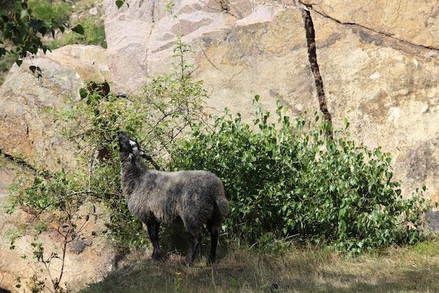 Zwarte geit eet uit een struik naast een klif in sandvig, bornholm Gratis Foto