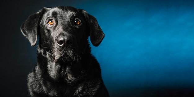 De oudere zwarte hond van labrador retreiver met grijze snuit en
