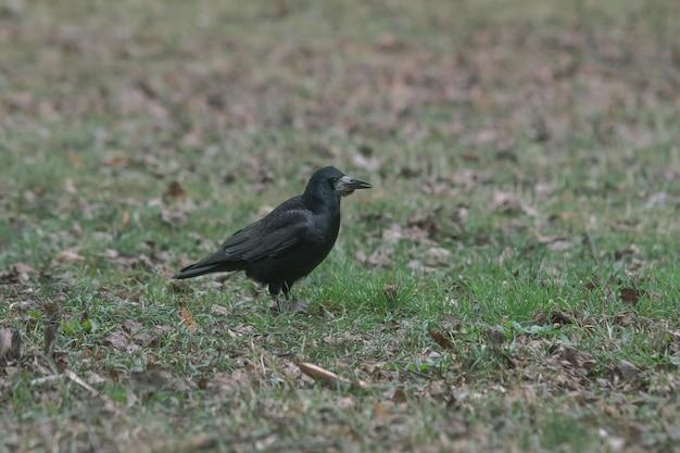 Zwarte kraai staande op de grond vol gras en bladeren Gratis Foto