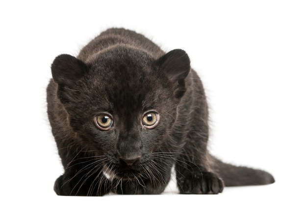 Zwarte luipaardwelp die geïsoleerd o staren rondsnuffelen Premium Foto