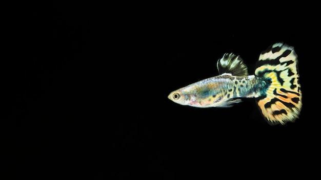 Zwarte vissen als achtergrond en betta met exemplaarruimte Gratis Foto