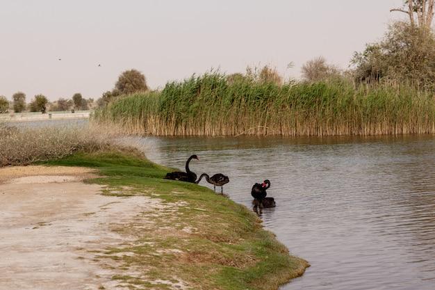 Zwarte zwanen op een verlaten meer in een park, dubai Premium Foto