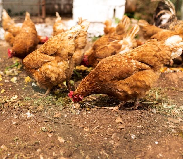 Zwerm kippen eten Premium Foto