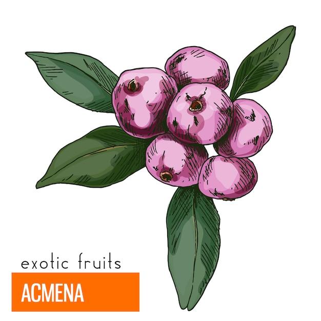 Acmena. kleur vectorillustratie. Premium Vector