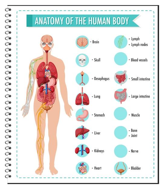 Anatomie van de infographic van het menselijk lichaamsinformatie Gratis Vector