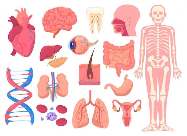 Anatomie van het menselijk lichaam, medische illustratie Premium Vector