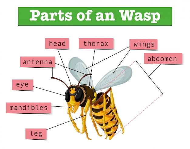 Anatomie van wesp met woorden Premium Vector