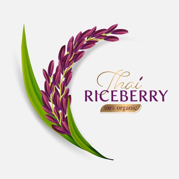 Biologische padie, oor van padie, oren van thaise rijst bessen geïsoleerde illustratie Premium Vector