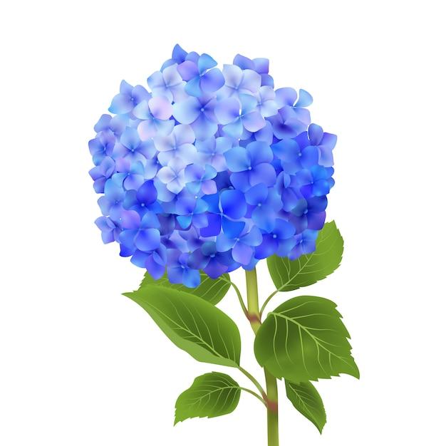 Blauwe hortensia geïsoleerd Gratis Vector