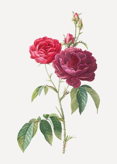 Bloeiende paarse rozen Gratis Vector
