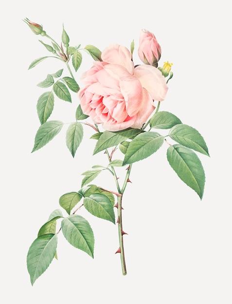 Bloeiende roze rozen Gratis Vector