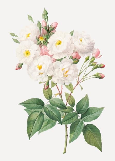 Bloeiende rozenstruik Gratis Vector
