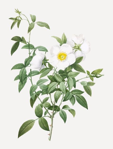 Bloeiende witte rozen Gratis Vector