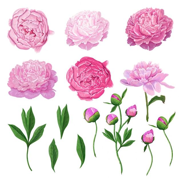 Bloemenelementen roze bloeiende pioenbloemen Premium Vector