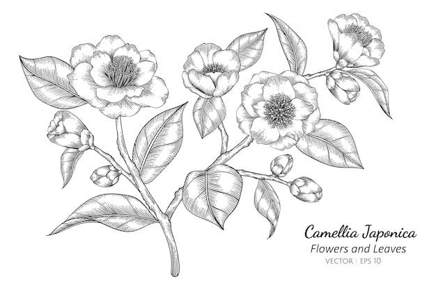 Camellia japonica-bloem en bladtekeningillustratie met lijnkunst op witte achtergronden. Premium Vector