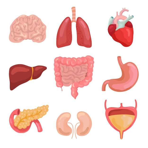 Cartoon menselijk lichaamsorganen. gezonde spijsvertering, bloedsomloop. orgel anatomie pictogrammen voor medische grafiek set Premium Vector