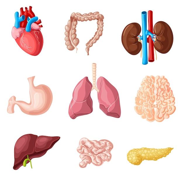 Cartoon menselijke interne organen set Gratis Vector